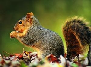 squirrels-wallpaper